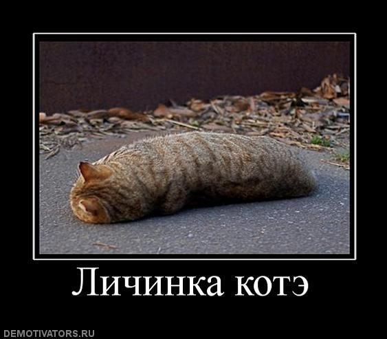 Личинка котэ